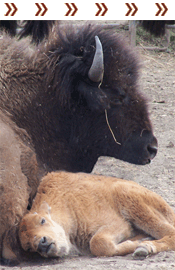 Native American - Bison